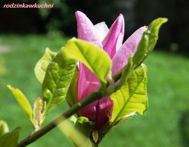 wiosenna magnolia